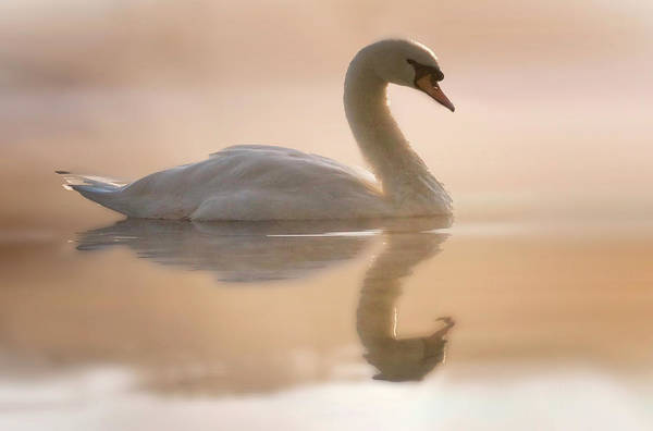Wall Art - Photograph - Swan Lake by Stamp City