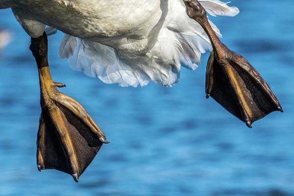 Wall Art - Photograph - Swan Landing Gear by Paul Freidlund