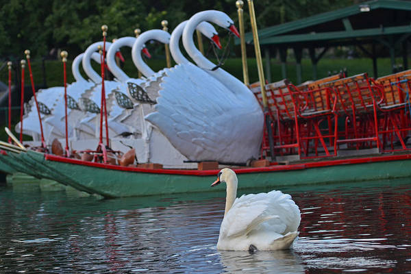 Photograph - Swan Meeting Up With Some Friends by Toby McGuire