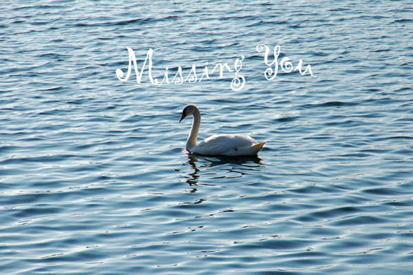 Miss You Photograph - Swan Miss You by Aimee L Maher ALM GALLERY