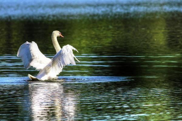 Photograph - Swan Of Lake Junaluska North Carolina by Carol Montoya
