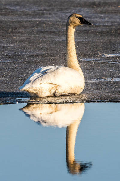 Wall Art - Photograph - Swan On Ice Reflection by Paul Freidlund