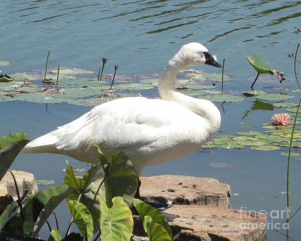 Photograph - Swan On The   Rocks by Kathie Chicoine