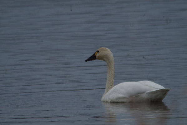 Trumpeter Swan Wall Art - Photograph - Swan On The Water by Jeff Swan