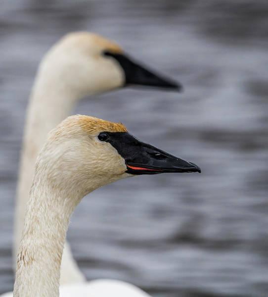 Wall Art - Photograph - Swan Portrait by Paul Freidlund