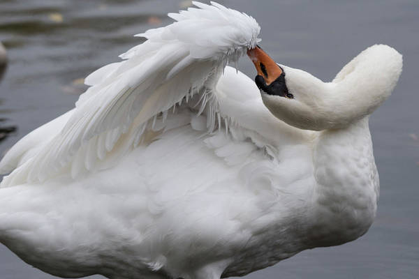 Photograph - Swan Preens - 8166 by Steve Somerville