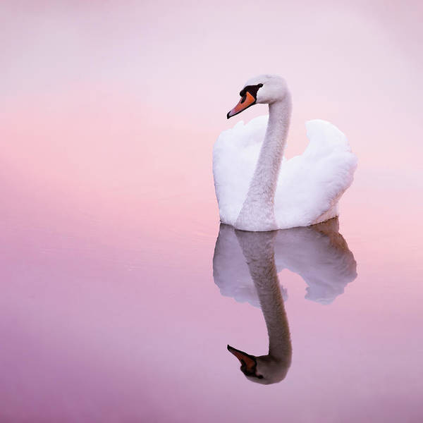 Mute Swan Photograph - Swan Reflections by Roeselien Raimond