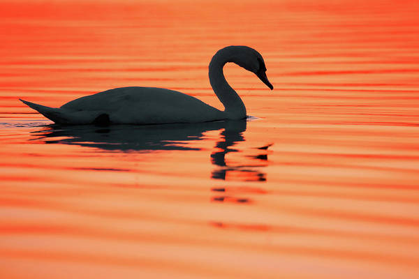 Mute Swan Photograph - Swan Silhouette by Roeselien Raimond