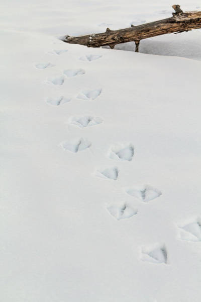 Photograph - Swan Snow Tracks by Patti Deters