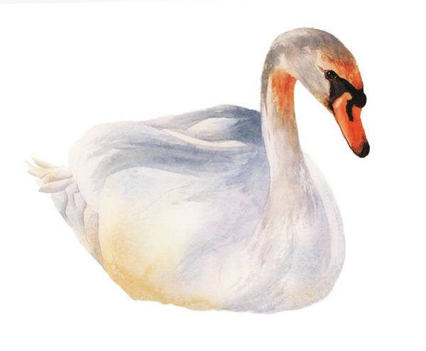 Wall Art - Painting - Swan Solo by Alison Fennell
