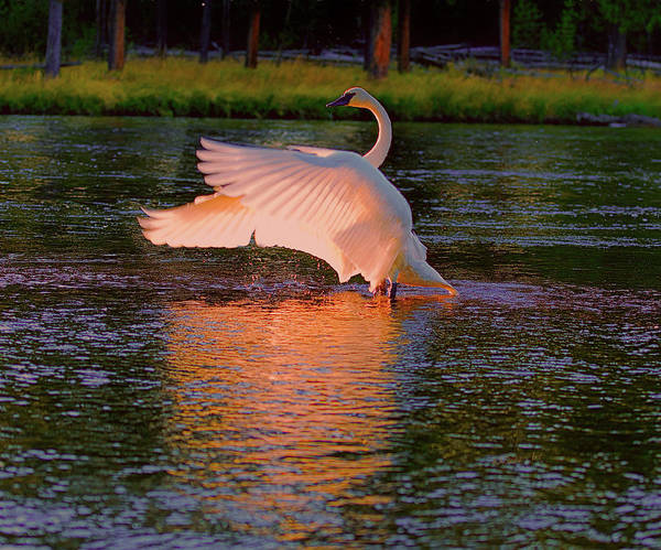 Digital Art - Swan Sun Salutation by OLena Art - Lena Owens
