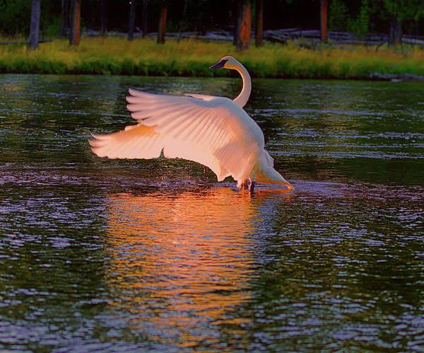 Digital Art - Swan Sun Salutation by OLena Art Brand