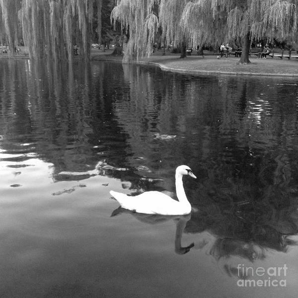Swan Boats Photograph - Swan Swimming In The Boston Public Gardens by Gina Sullivan