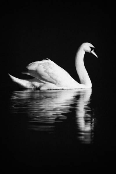 Wall Art - Photograph - Swan Swimming by Joe Fox