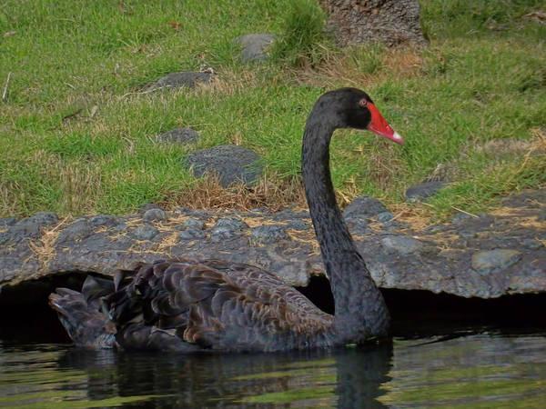 Photograph - Swan Swimming by Pamela Walton