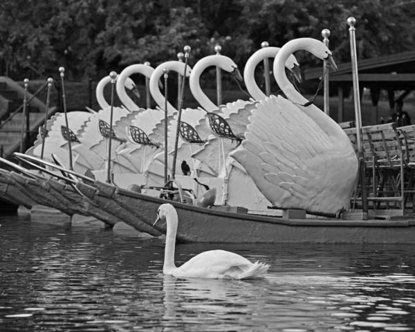 Swan Boats Photograph - Swan Swimming Up With Some Friends Black And White by Toby McGuire