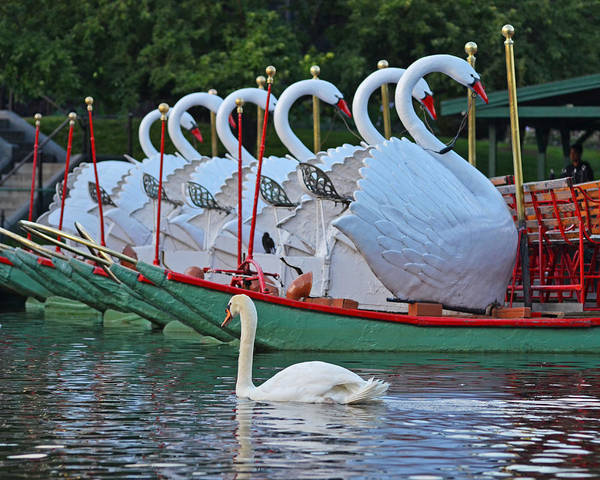 Photograph - Swan Swimming Up With Some Friends by Toby McGuire