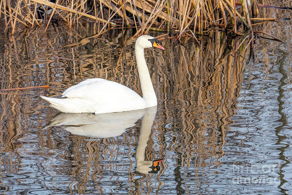 Photograph - Swan Swims On The River  by Odon Czintos