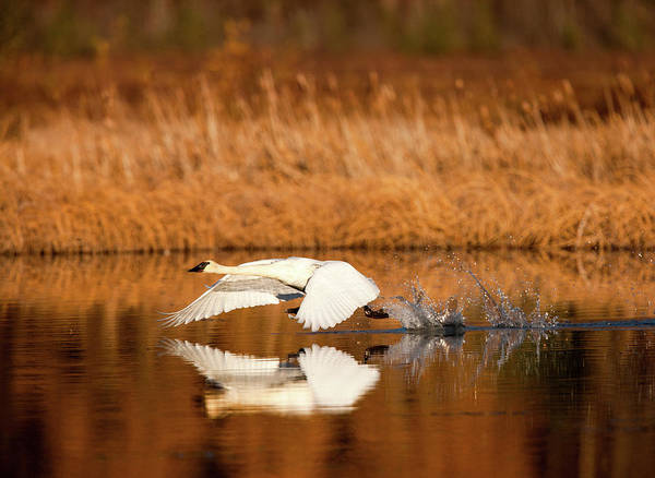 Trumpeter Swan Painting - Swan Takeoff by Dan Twitchell