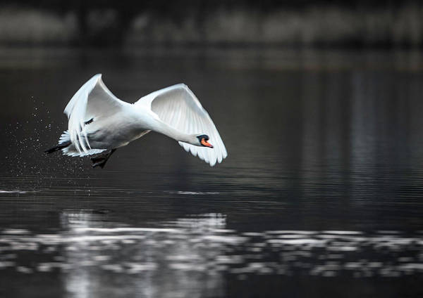Wall Art - Photograph - Swan Takes Off From Grasmere by Russell Millner