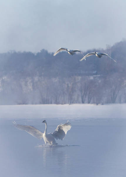 Photograph - Two Swans Landing by Patti Deters