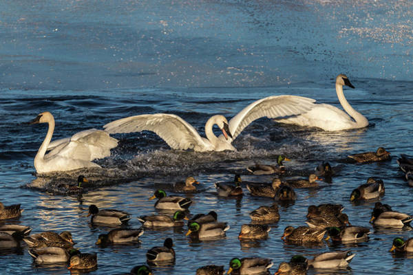 Photograph - Swan Wings Reach by Patti Deters