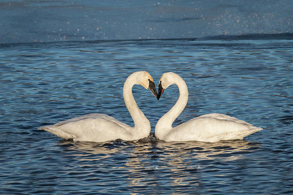 Photograph - Swan Heart by Patti Deters