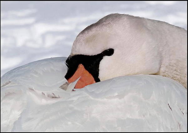 Photograph - Swan Up Close And Personal by Andrea Kollo