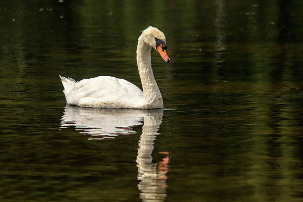 Photograph - Swan Water Reflection  by Cliff Norton