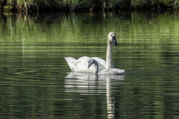 Photograph - Swan With Cygnet by Belinda Greb