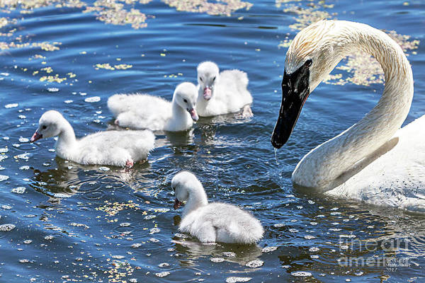 Photograph - Swans And Cygnets by David Millenheft