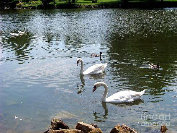 Photograph - Swans And Ducks by Charles Robinson
