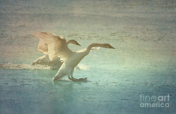 Photograph - Swans by Charles Owens