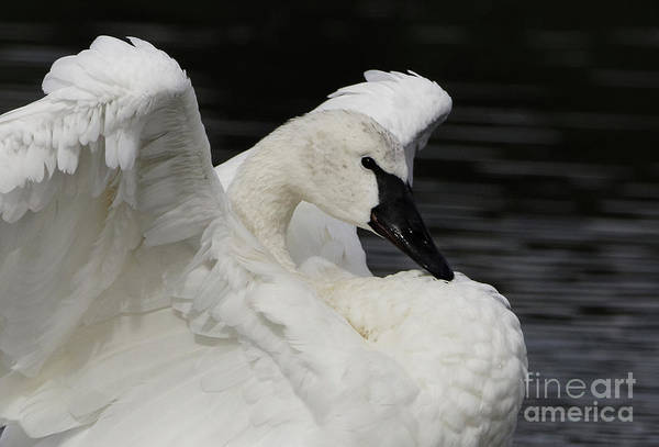 Photograph - Swans Glory by Sue Harper