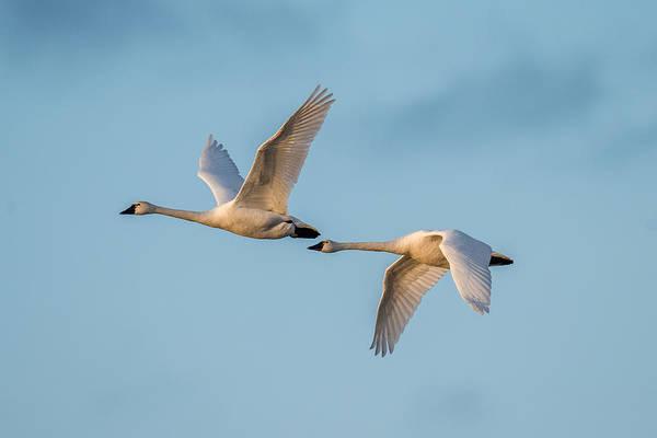 Wall Art - Photograph - Swans In Flight by Paul Freidlund