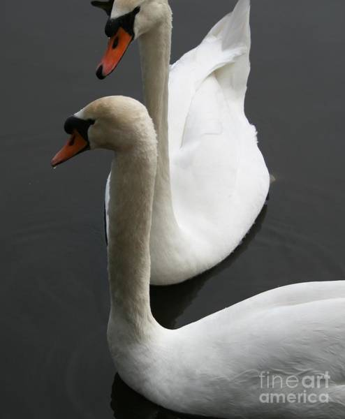 Wall Art - Photograph - Swans In Love by Valia Bradshaw