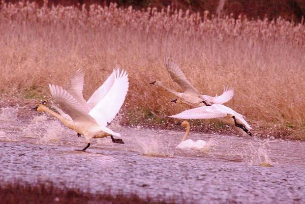 Trumpeter Swan Wall Art - Photograph - Swans In Take Off  by Jeff Swan
