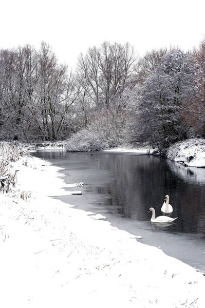Photograph - Swans In The Snow by Gary Eason