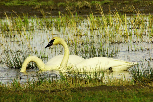 Trumpeter Swan Wall Art - Photograph - Swans by Jeff Swan