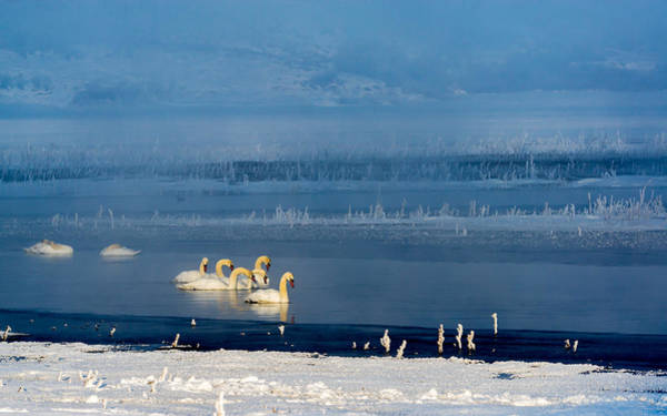 Photograph - Swans On The Lake by TL Mair