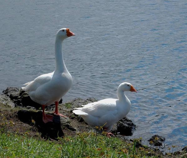 Photograph - Swans by Pamela Walton