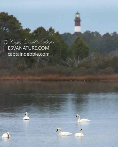 Photograph - Swans Peaceful Lighthouse 2 by Captain Debbie Ritter
