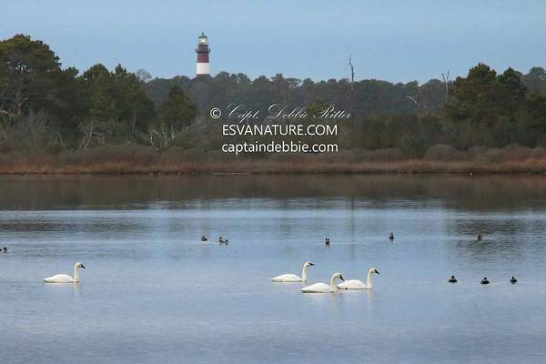 Photograph - Swans Peaceful Lighthouse by Captain Debbie Ritter