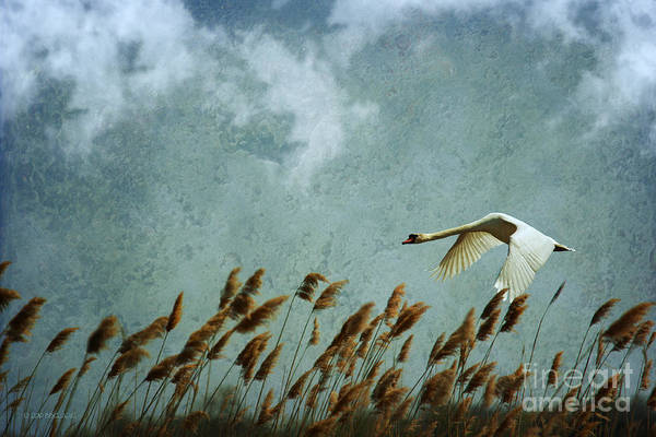 Photograph - Swans Rule The Marshlands by Beve Brown-Clark Photography