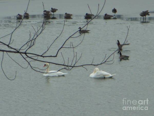 Photograph - Swans With Geese by Rockin Docks Deluxephotos