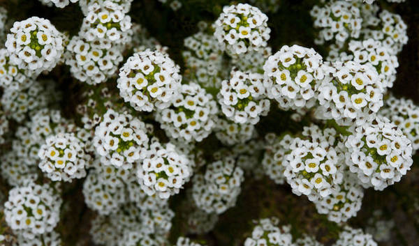 Photograph - Sweet Alyssum by Windy Osborn