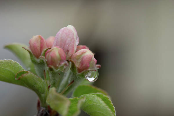 Photograph - Sweet Apple Spring by Marie Leslie