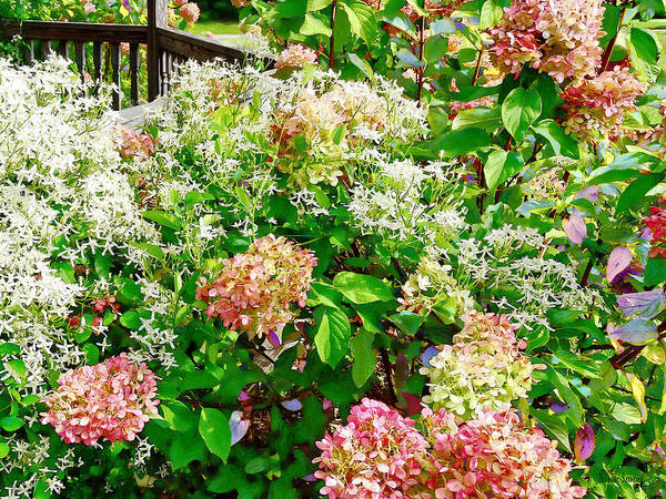 Photograph - Sweet Autumn Clematis And Pink Hydrangea by Susan Savad