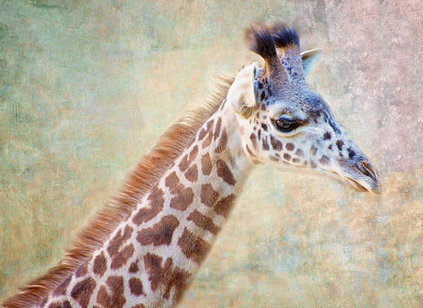 Photograph - Sweet Baby Giraffe by Lynn Bauer