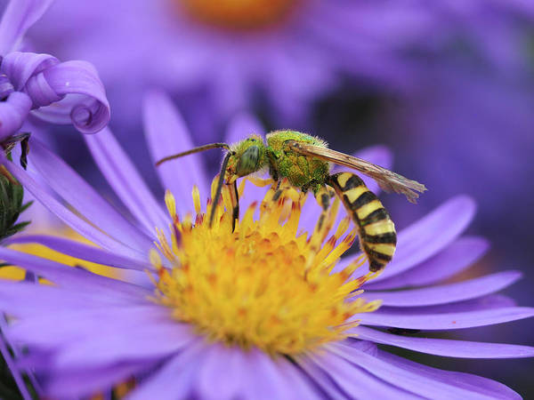 Photograph - Sweet Bee by James Peterson